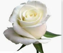 w rose